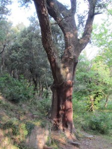 The bark of cork oaks was a major source of income in la Vajol