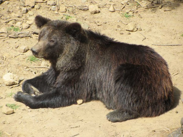 Brown bear – ursus arctos, ós bru (Catalan) oso pardo (Spanish)