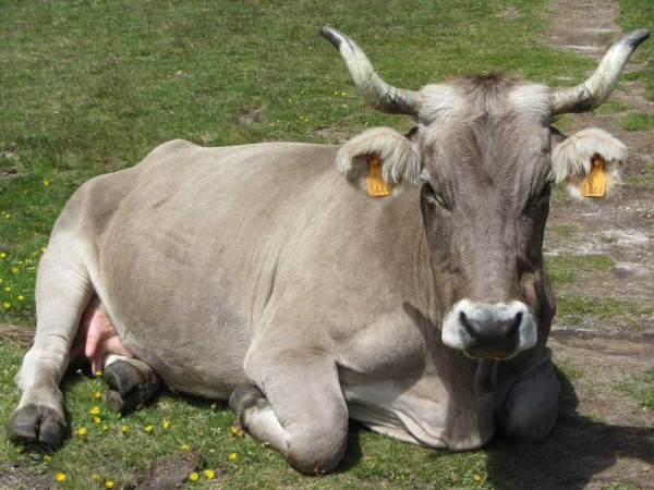 Pyrenean brown cow