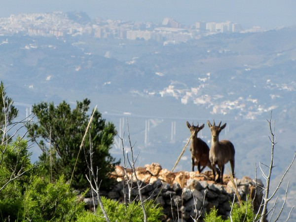 Ibex kids in Andalucia