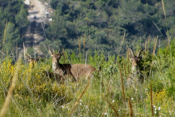 Female ibex and two kids near Lentegí, Andalusia
