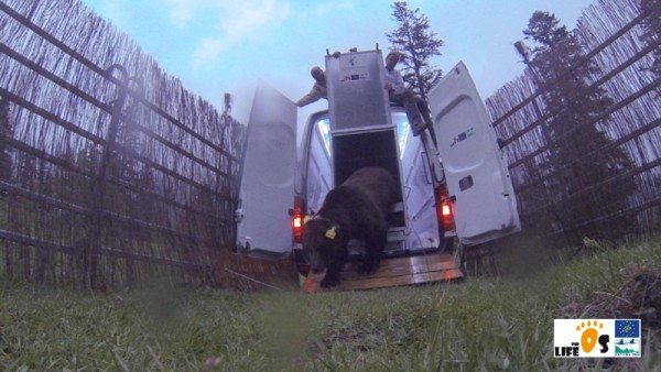 First picture of the Slovenian bear released 6 June in Catalonia