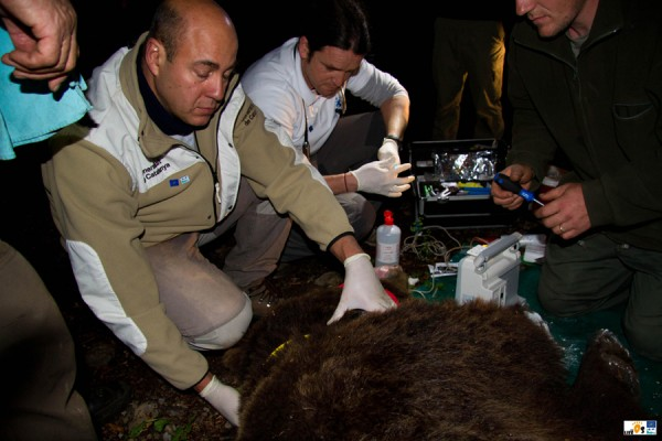 Taking blood samples of the new bear