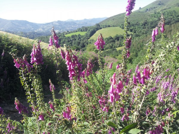 Day 4. Foxgloves in the Baztan valley on the southern slopes of the Pyrenees