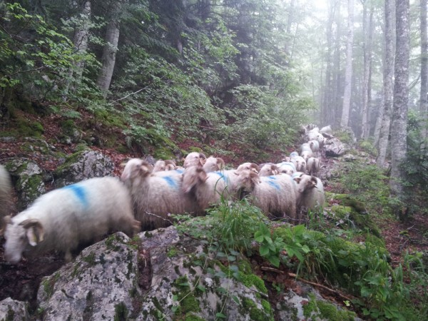Day 11. Transhumance above Laruns.