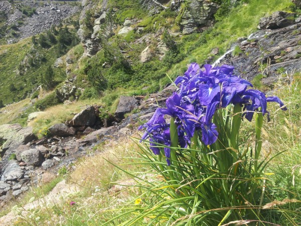 Day 41. Pyrenean iris.