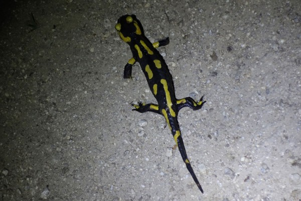 Day 55. Fire salamander on the track above Las Illas.
