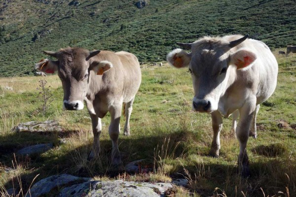 Curious calves at 2000m above sea level near Alòs d'Isil on the Pyrenean Haute Route