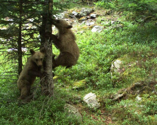 Bear cubs photographed on an automatic camera near the Port de Tavascan, July 2017
