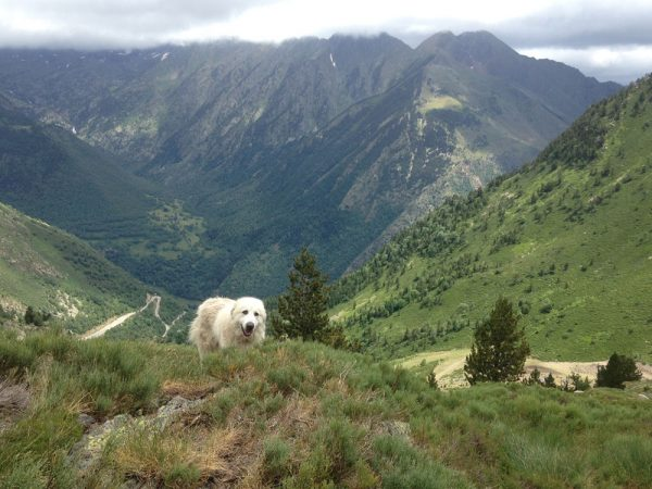 One of Mustapha's patous (Pyrenean Mountain dogs) coming to investigate me. Above the Pleta del Prat, earlier this summer.