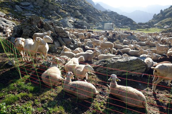 Sheep in their enclosure on the Catalan side of Mont-roig (Mont Rouch in French)