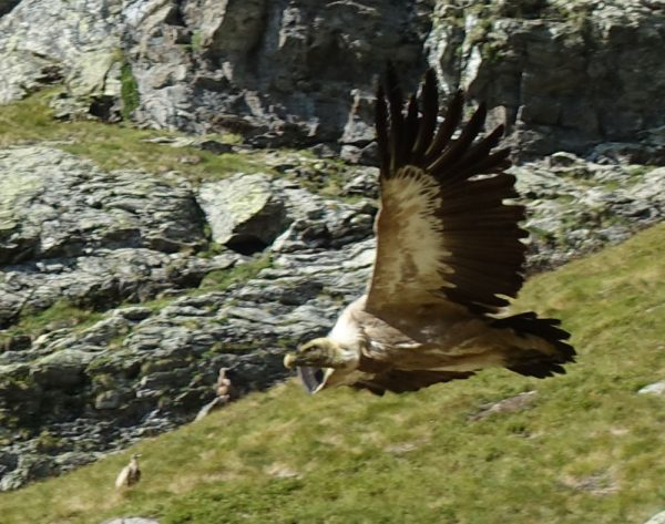 Griffon vulture flying away
