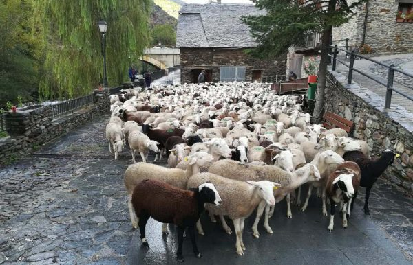 Sheep from the Boldis-Àreu flock now back in the valley.