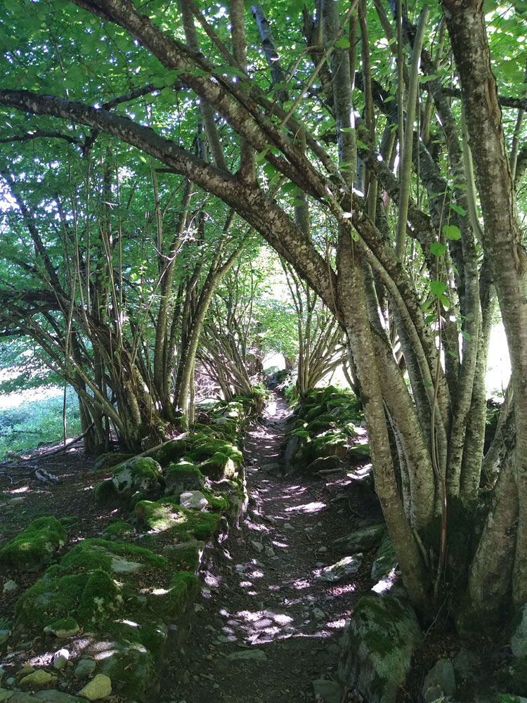 Passage between stone walls, shaded by coppiced trees just above Ossèse.
